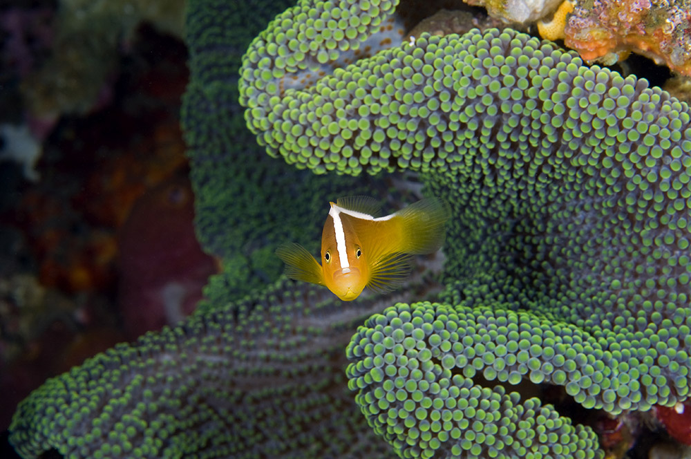 A yellow clownfish (Amphiprion sandaracinos) peeks out from within a Merten's carpet sea anenome (Stichodactyla mertensii) in Indonesia. Photo by: Jeff Yonover
